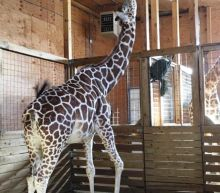 April The Giraffe Defying The Odds