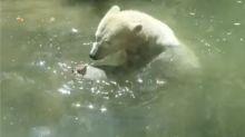 Oso polar intenta 'revivir' a un pájaro