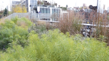 The High Line masterclass: join Piet Oudolf for a lesson in prairie planting