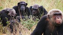 Could Chimps Cook?