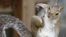 Londoner Restaurants servieren jetzt Eichhörnchen-Fleisch