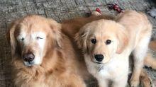 Muito amor: cachorro cego ganha cão-guia para andar, comer e brincar