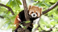 A thrilling search for Asia's rare pint-sized pandas