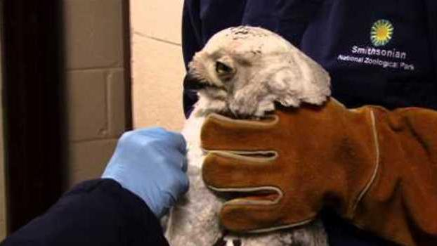 National Zoo Treats DC Snowy Owl Hit by Bus