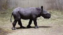 RAW: Baby Black Rhino born at Lincoln Park Zoo
