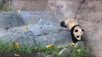 San Diego Zoo's new panda makes public debut