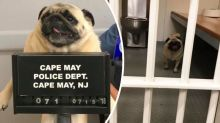 Police release 'pugshot' for naughty runaway pup