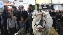 Annulation du Salon de l'Agriculture : déjà choisie, que va devenir la vache égérie de 2021?