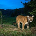 Mountain lion spotted stalking children as they play in California neighbourhood