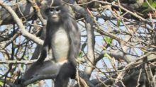 Birmanie : une nouvelle espèce de singe est découverte par des scientifiques, mais elle est déjà menacée d'extinction
