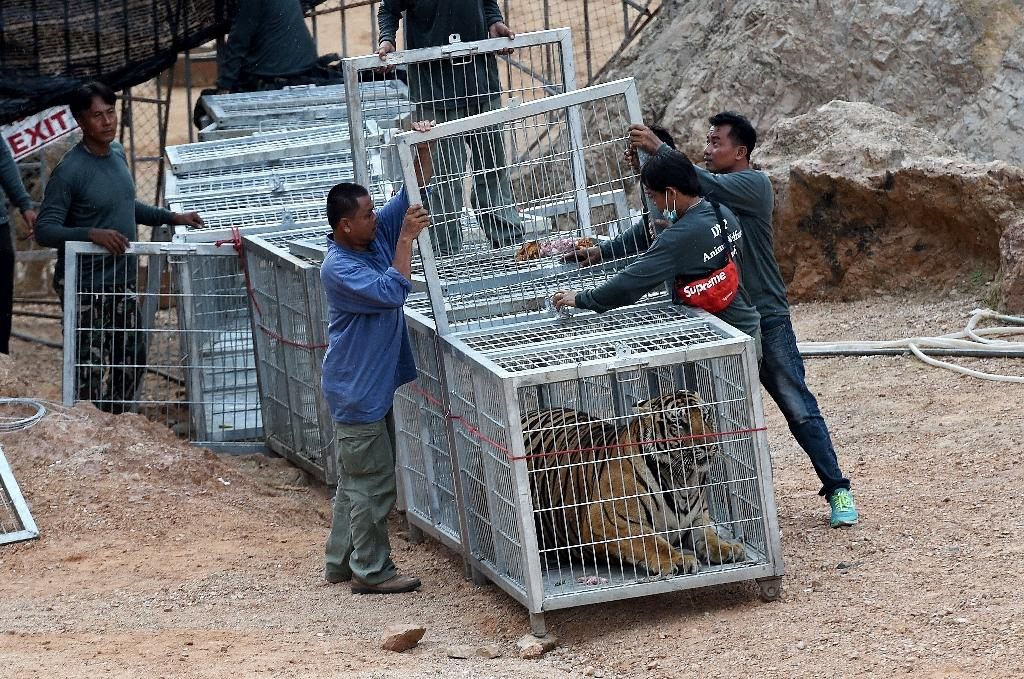 """The so-called """"Temple of Tigers"""" in western Thailand was closed in May after Thai wildlife officials discovered dozens of dead cubs inside a freezer (AFP Photo/Christophe Archambault)"""