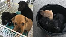 Three puppies found abandoned inside bucket in Cheltenham