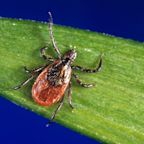 Pentagon asked to investigate whether ticks were experimented on as biological weapons