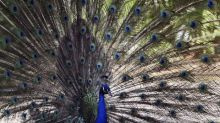 An Odisha village woman's journey from protecting peacocks to the Indian parliament