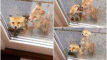 【新片速報】超可愛狐狸仔敲門 發現被拍網上熱傳