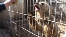 Saving Simba and Lula, last two survivors of Mosul zoo