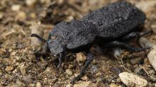 Secrets of the 'uncrushable' beetle revealed