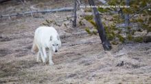 Reward doubled to $10,000 for Yellowstone white-wolf shooter