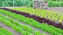 Grow to eat: sow lettuce every few weeks for a summer of salad