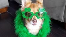These dogs are dressed and ready for St. Patrick's Day