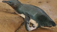 Aussie penguin parade is lockdown live-stream hit