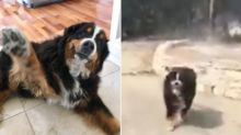 'Miracle Dog' Survives Wildfire Alone After She Escaped When Her Family Was Fleeing Their Home