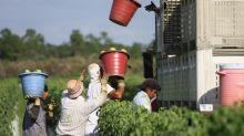 """Agricultores de Florida llevan a empresas de """"fast foods"""" al comercio justo"""