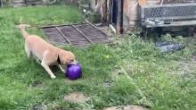 Dog confused by disappearing balloon