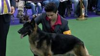 Westminster Dog Show Underway in New York