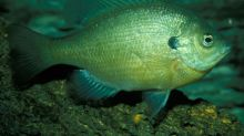 Hybrid sunfish to be stocked in Kansas City lakes