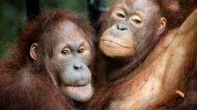 Los orangutanes se automedican