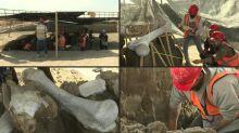 Riesige Mammutknochen auf Flughafenbaustelle entdeckt