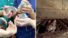 'He screamed like a schoolgirl': Why we need to rethink our phobia of rats