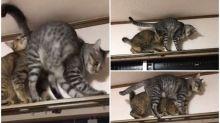 【新片速報】日本肥貓攻防戰 高空行走超搞笑Twitter熱傳