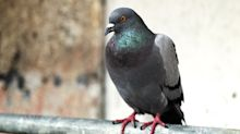 Two deaths from exposure to pigeon poop have Scotland on high alert