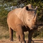 South African rhino breeder starts online auction of horns