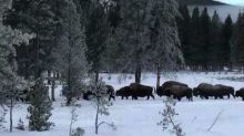 Bison Trail Through Snow-Covered Yellowstone National Park