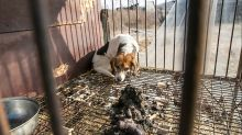 'Bit of an unknown': Dog meat farm shutdown stalled by coronavirus restrictions