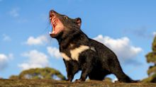 Tasmanian devils return to Australian wild after 3,000 years