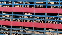 Decision near on live cattle case appeal