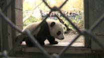 Behind the Scenes With Panda Cub Xiao Liwu