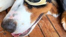 Angélica e Luciano Huck dão presente inusitado para cachorro de estimação