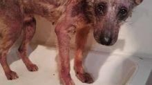 O antes e depois desse cão resgatado prova que amor e cuidado curam qualquer ferida