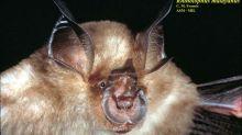 Una nueva variante de coronavirus descubierta en murciélagos demuestra su capacidad como reservorio de patógenos