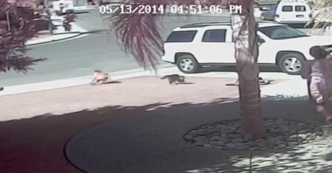 Hero Cat Saves California Boy From Dog Attack