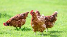Chicken Run! Untotes Huhn irritiert das Netz