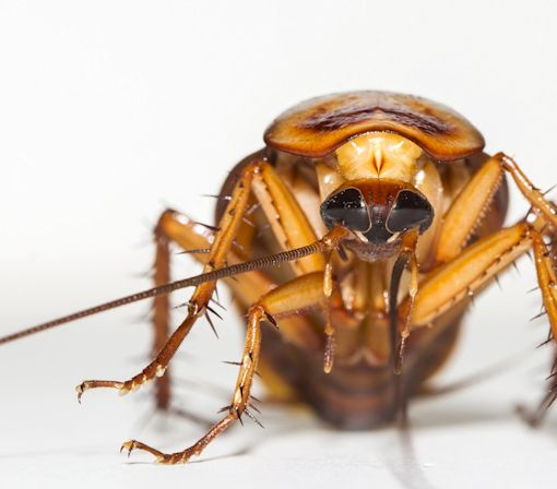 Cockroach Milk Could Be Good for You, Scientists Say