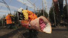 Ecuador's blooming flower industry feels pandemic's punch