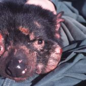 Tasmanian devils are adapting to their gnarly face cancer