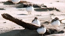 Snowy plover chick hatches on Oregon beach